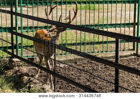 Chital Or Cheetal Deer (axis Axis), Also Known As Spotted Deer Or Axis Deer In Zoo