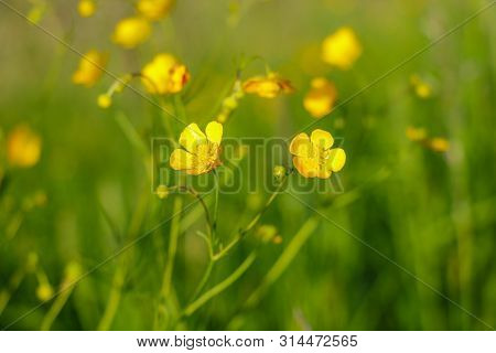 Yellow Flowers Branch On Green Grass Background. Ranunculus Acris, Meadow Buttercup, Tall Buttercup,