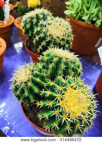 Few Balls Cactus In A Cooled Indoor Garden. Cactus Spiky Succulent Green Plants