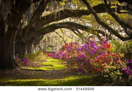 Charleston Sc Plantation Oak Trees Spanish Moss Azalea Spring Flowers