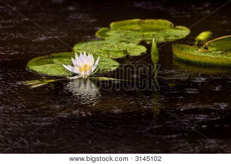 Water Lily Pad And Flowers