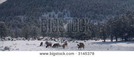 Elk Grazing In A Winter Forest