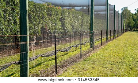 A Crop Of Lychee Trees Enclosed In Netting To Protect The Fruit From The Birds