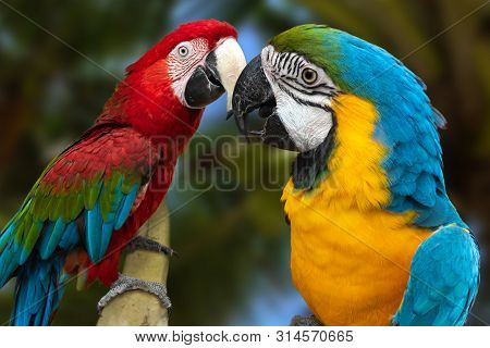 The Parrots Love Each Other . Close Up.