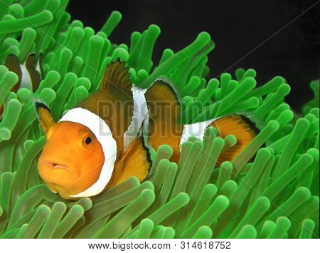 Closeup And Macro Shot Of The Western Clownfish Or Anemonefish During A Leisure Dive In Tunku Abdul