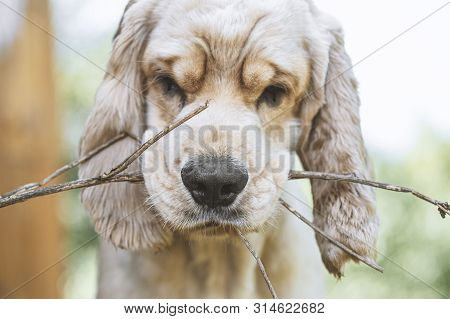 Close-up Portrait Of A Cocker Spaniel Breed Dog. The Dog Holds A Branch In His Teeth. The Dog Is Pla
