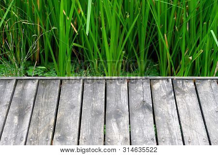 Water Grass Growing In A Swamp With Warm Light And Old Wooden Pathway