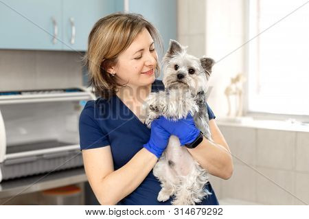 Beautiful Brunette Doctor Vet Examines A Small Cute Dog Breed Yorkshire Terrier At A Veterinary Clin