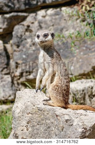 Close Up Of A Watchful Meerkat On A Rock