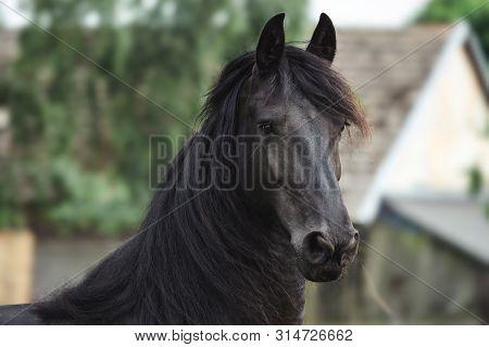 Head Of A Friesian Horse. Black Friesian Horse.