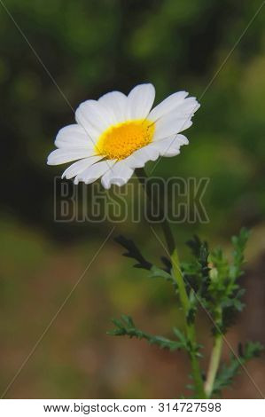 Flowers ; Lonely White Daisy , Depth Of Field