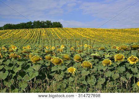 Summer; Sunflower Field  , Oil , Seeds , Vegetal Fat