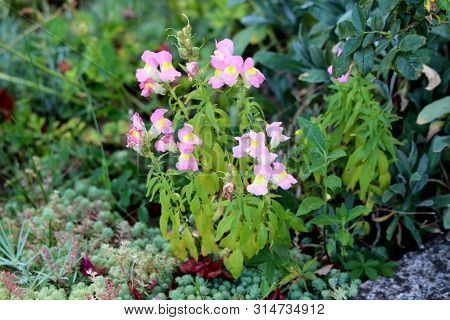 Common Snapdragon Or Antirrhinum Majus Flowering Plants With Light Pink Open Blooming Flowers Growin