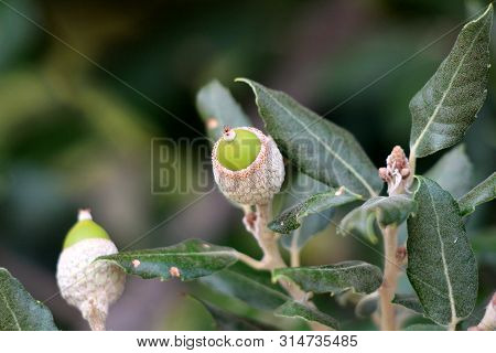 Evergreen Oak Or Quercus Ilex Or Holly Oak Or Holm Oak Evergreen Oak Tree Branch With Young Light Gr