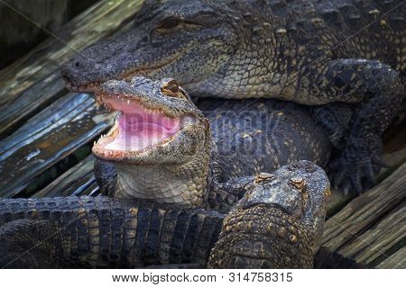 Alligator Threatens Open Jaw And Is Ready To Attack The Enemy. Crocodiles Dangerous Animals. Alligat