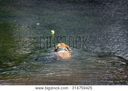 Labrador dog swimming fetching tennis ball in water poster
