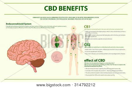 Cbd Benefits Human Horizontal Infographic, Healthcare And Medical Illustration About Cannabis