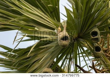 Nests Of A Baya Weaver Colony Suspended From A Palm Tree, India