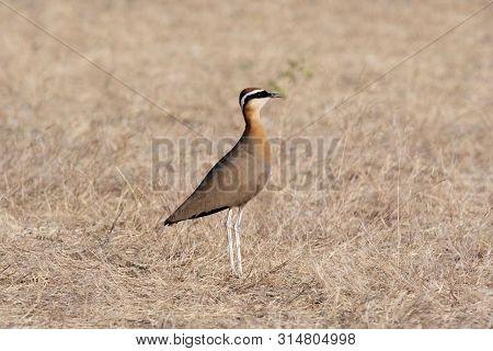 Indian Courser, Cursorius Coromandelicus, Wildlife Of Saswad In Maharashtra