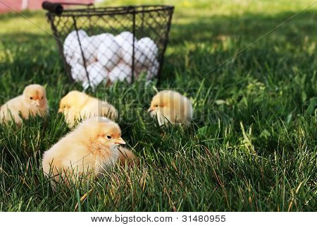 Little free range Buff Orpington chicks outdoors by a basket filled with fresh organic eggs. Extreme shallow depth of field with selective focus on chick in foreground. poster