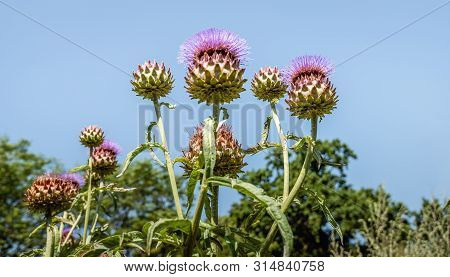 Closeup Of Budding And Flowering Artichoke Plants Against The Blue Sky. The Photo Was Taken On A Sun