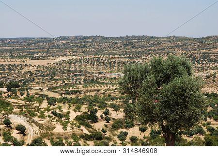 Olive Tree; Oil, Healthy Fat,  Fields In Aragon, Spain