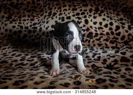 Nice Amstaff Puppy Dog Pets Rusty Red Animal Home American Staffordshire Terrier