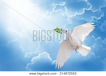 A free white dove holding green leaf branch flying in the sky.International Day of Peace concept background
