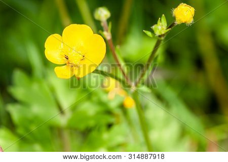 Close Up Of A Common Buttercup Yellow Flowers On Green Grass Background. Ranunculus Acris Meadow But