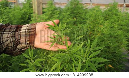 A Farmer Stands Among His Commercial Greenhouse Hemp Crop. Cannabis Sativa Grown Industrially For Th