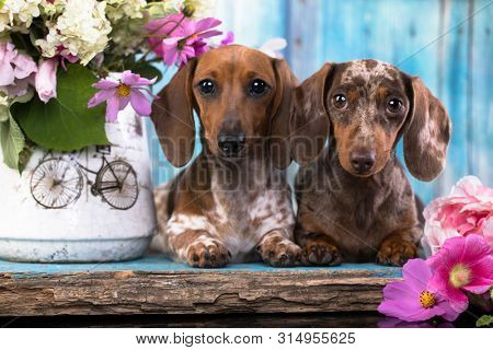 dachshund puppy brown tan color and piebald