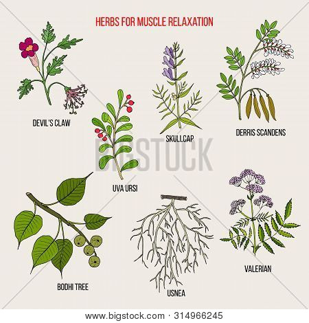 Best Herbs For Muscle Relaxation. Hand Drawn Botanical Vector Illustration