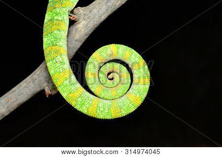 Closeup Of Tail Of Indian Chameleon, Chamaeleo Zeylanicus Tail, Satara, Maharashtra, India