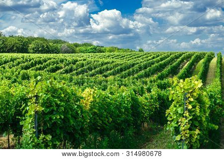Vineyard Landscape With Beautiful Clouds And Blue Sky In Summer. Cloud, Background. Beautiful Vineya