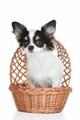 Long-haired chihuahua puppy in wattled basket on white background with reflection poster