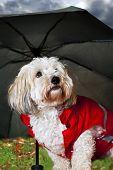 Coton de tulear dog in raincoat under umbrella looking worried poster