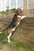 Portrait of a young tri-colored beagle puppy being curious and jumping up on the retaining wall. poster