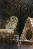 The tawny owl (Strix aluco) in the aviary. poster