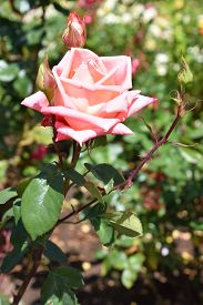 Beautiful Roses In Spring In A Garden