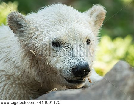 Portrait Of A Young Polar Bear (ursus Maritimus) In A Zoo