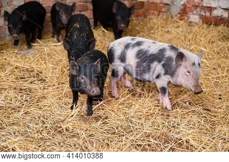 Vietnamese Mini Pigs Stay On Straw In Pig Sty