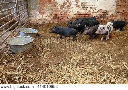 Vietnamese Mini Pigs Ready To Eat From Feeding Bowls In Pig Sty