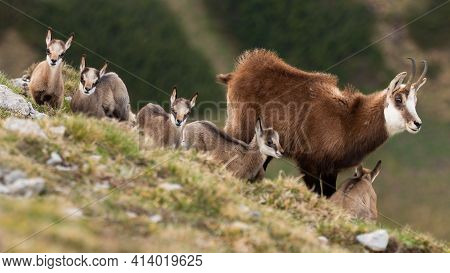 Tatra Chamois With Kids Standing On Mountains In Spring