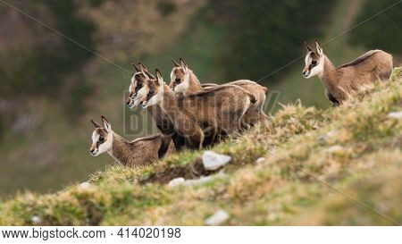Little Tatra Chamois Kids Standing In Mountains In Spring