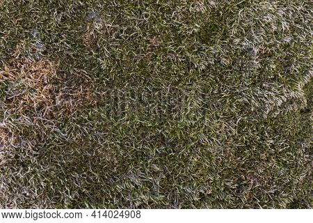 Dry Mossy Surface On The Ground, In Galicia Spain