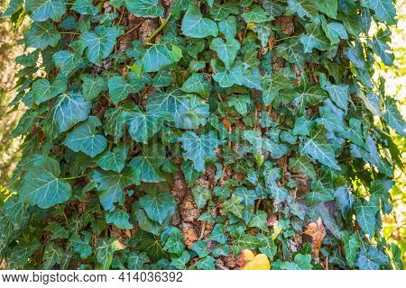 Climbing Plant On A Tree Trunk. Green Ivy Climbing Up Tree Trunk. Natural Background