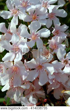 Texture Of White Oleander Flowers.spring Floral Pattern With Delicate Flowers And White Oleander Bud