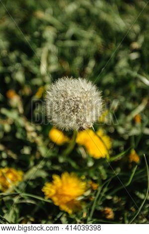 White Fluffy Dandelion On A Spring Meadow With Sunlight. Natural Green Blurred Spring Background. Fr