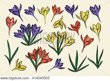 Collection Of Grass And Crocus. A Set Of Purple Yellow And Red Spring Flowers.