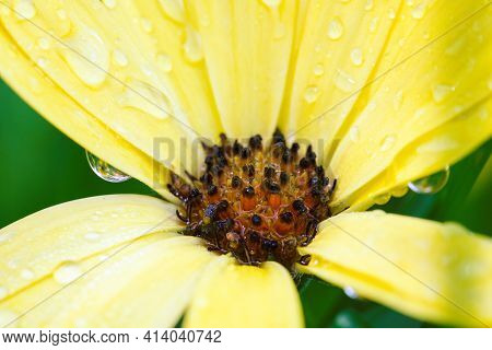 A Closeup Portrait Of A Yellow Spannish Daisy Covered With Water Drops After Some Heavy Rain. The Fl